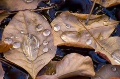 Hojas de otoño con gotas del agua Foto de archivo