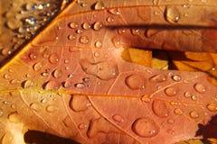 Hojas de otoño con gotas del agua Fotografía de archivo libre de regalías
