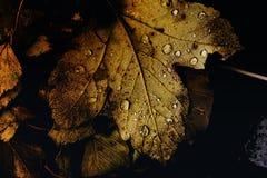 Hojas de otoño con las gotas de rocío Fotografía de archivo