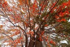 Hojas de otoño congeladas en la ramificación de la haya Imágenes de archivo libres de regalías