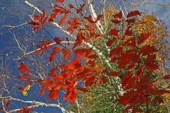 Hojas de otoño contra un cielo azul Imagen de archivo