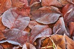 Hojas de otoño cubiertas en helada temprana Foto de archivo libre de regalías