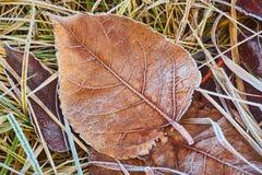Hojas de otoño cubiertas en helada temprana Foto de archivo