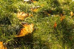 Hojas de otoño de Allen en hierba en la luz soleada de la mañana, foto entonada Foto de archivo libre de regalías