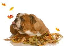 Hojas de otoño de cogida del perro Imagenes de archivo