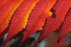 Hojas de otoño de color naranja del rojo rico Fotografía de archivo