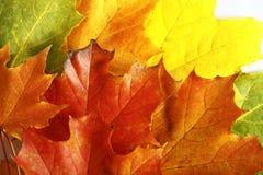 Hojas de otoño de Colorfull aisladas en el CCB blanco Foto de archivo