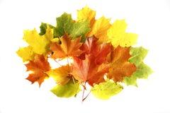 Hojas de otoño de Colorfull aisladas en el CCB blanco Fotografía de archivo libre de regalías