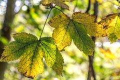 Hojas de otoño de la caída en un claro y un verde del día soleado Imagenes de archivo
