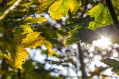 Hojas de otoño de la caída en un día soleado claro y verde con el rayo del sol Fotos de archivo libres de regalías