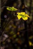 Hojas de otoño de la caída en un día soleado claro y verde con el rayo del sol Imagen de archivo libre de regalías
