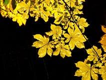 Hojas de otoño de la castaña Imagen de archivo libre de regalías