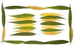 Hojas de otoño de la colección del sauce que llora Imagen de archivo libre de regalías