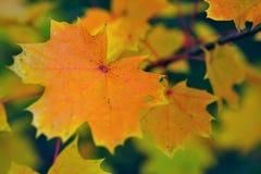 Hojas de otoño de Mapple Imágenes de archivo libres de regalías