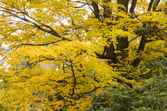 Hojas de otoño de oro en caída con las ramas negras Foto de archivo