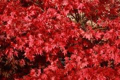 Hojas de otoño de un árbol de arce japonés Fotos de archivo libres de regalías