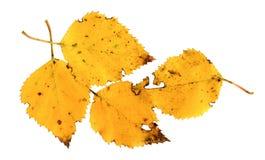 Hojas de otoño de un abedul de plata Imagen de archivo libre de regalías