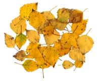 Hojas de otoño de un abedul de plata Imagen de archivo