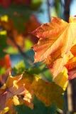 Hojas de otoño de un arce Imagenes de archivo