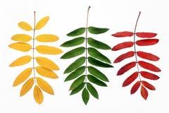 Hojas de otoño de una ceniza de montaña Imagen de archivo libre de regalías