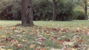 Hojas de otoño debajo del árbol de arce almacen de video