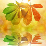 Hojas de otoño del árbol de castaña Imágenes de archivo libres de regalías