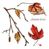 Hojas de otoño del abedul Fotografía de archivo libre de regalías
