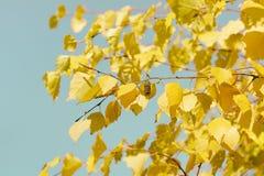 Hojas de otoño del abedul Fotos de archivo