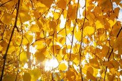 Hojas de otoño del abedul amarillo Fotos de archivo libres de regalías