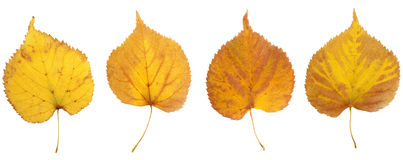 Hojas de otoño del abedul en color amarillo, marrón y rojo Fotos de archivo libres de regalías