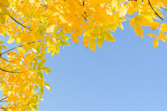Hojas de otoño del amarillo del oro del verano indio sobre el cielo azul claro Foto de archivo