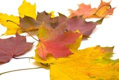 Hojas de otoño del arce imagen de archivo