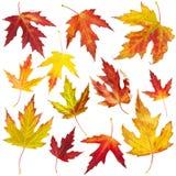 Hojas de otoño del arce Imagenes de archivo