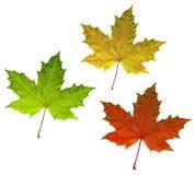 Hojas de otoño del arce del color aisladas en blanco Imagen de archivo libre de regalías