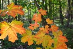 Hojas de otoño del arce en madera Imagen de archivo libre de regalías