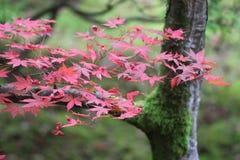 Hojas de otoño del arce japonés imagen de archivo