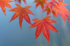 Hojas de otoño del arce japonés Imagenes de archivo