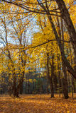Hojas de otoño del claro de Dacy Fotografía de archivo