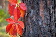 Hojas de otoño del color y árbol del fuego, postal de la estación y backgr imagenes de archivo