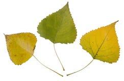 Hojas de otoño del cottonwood Fotos de archivo libres de regalías