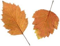 Hojas de otoño del espino en lightbox Foto de archivo libre de regalías