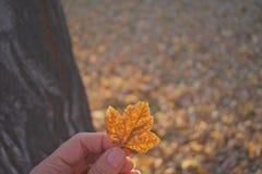 Hojas de otoño del hallazgo Imagen de archivo