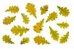Hojas de otoño del roble aisladas en blanco Fotos de archivo libres de regalías