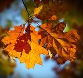 Hojas de otoño del roble rojo Imagen de archivo