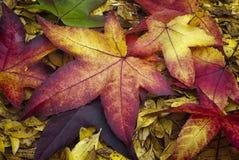 Hojas de otoño del styraciflua del liquidámbar de Sweetgum del americano fotografía de archivo libre de regalías