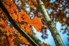 Hojas de otoño en árbol foto de archivo libre de regalías