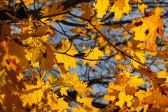 Hojas de otoño en contraluz Foto de archivo libre de regalías