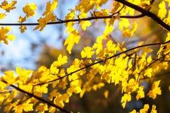 Hojas de otoño en el árbol Fotos de archivo libres de regalías