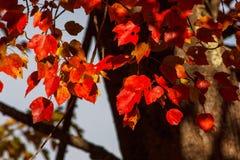 Hojas de otoño en Falmouth Maine imagenes de archivo