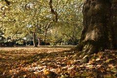 Hojas de otoño en la base de un árbol antiguo fotografía de archivo libre de regalías